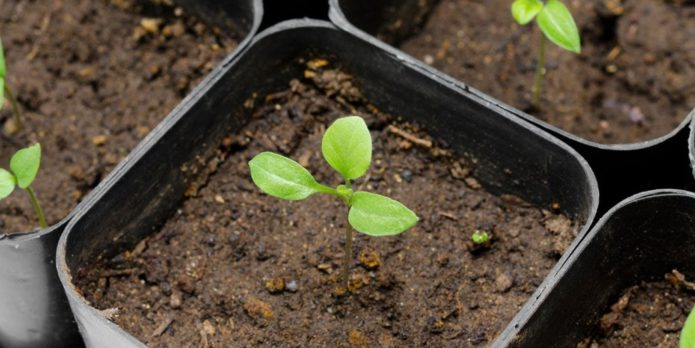 Когда можно сеять семена баклажан на рассаду в Ленинградской области в 2020 году по луне
