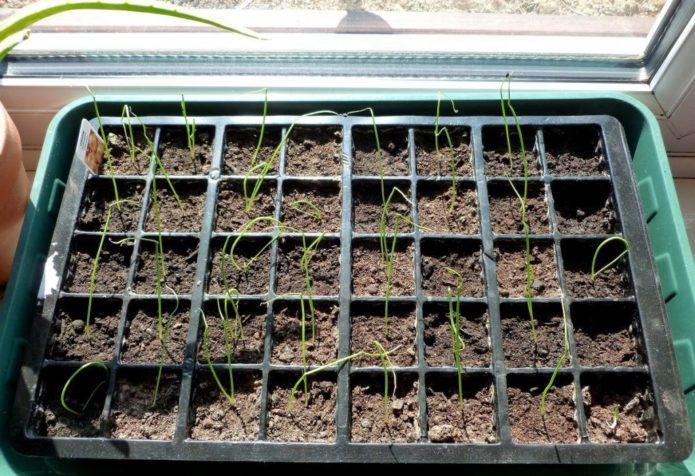 Благоприятные дни для посева лука-порея рассадой в марте 2021 года