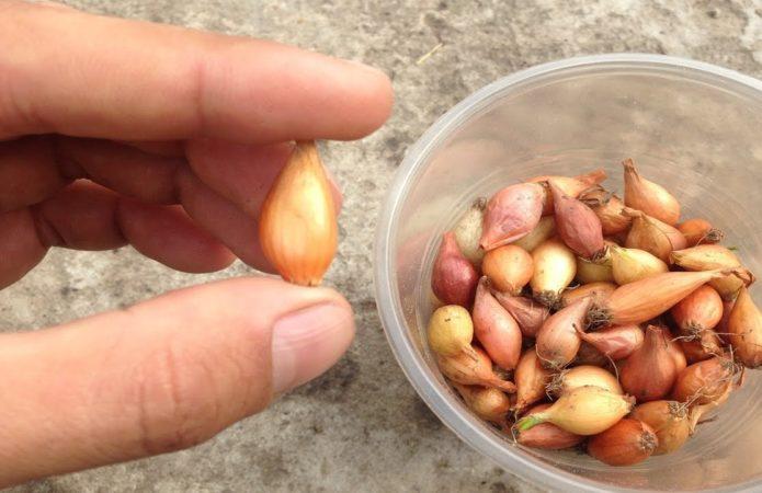 Посадка лука севка в 2021 году весной для получения крупных луковиц