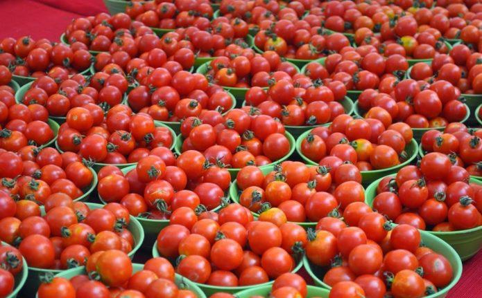 большой урожай томатов