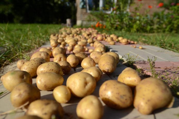 Когда можно убирать урожай картофеля с учетом лунного календаря в 2021 году