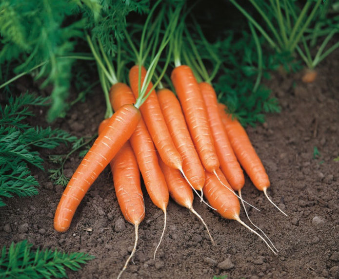выбор сорта моркови