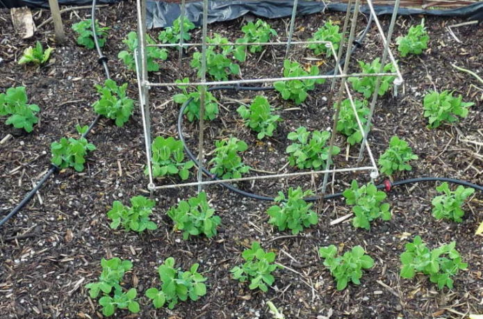 выращивание гороха в грунте