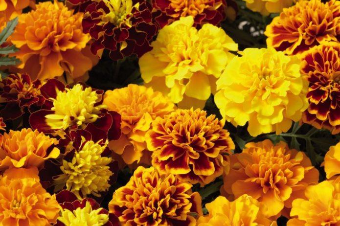 фото цветения бархатцев