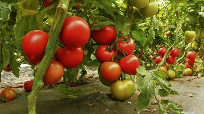 Лучшие сорта томатов на 2021 год: фото и описания