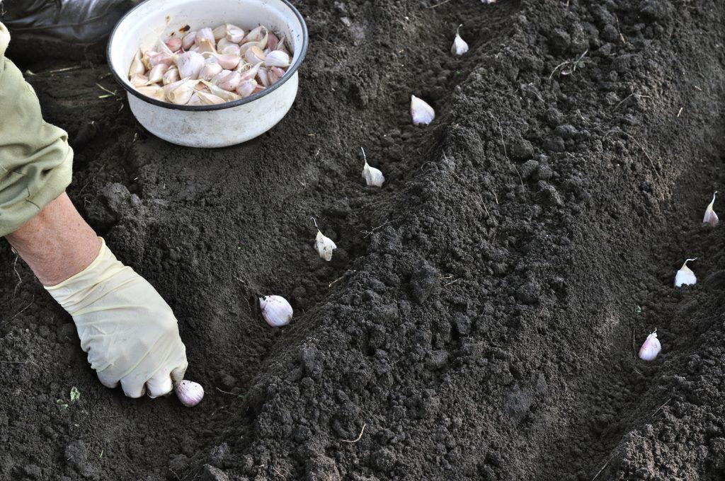 Благоприятные дни для посадки чеснока в октябре 2020 года и рекомендации по его выращиванию