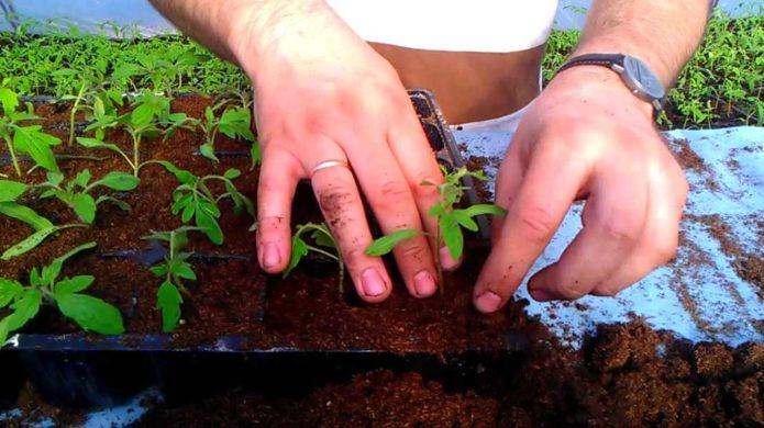 Рассчитываем благоприятные дни пикирования помидоров в 2021 году по лунному календарю