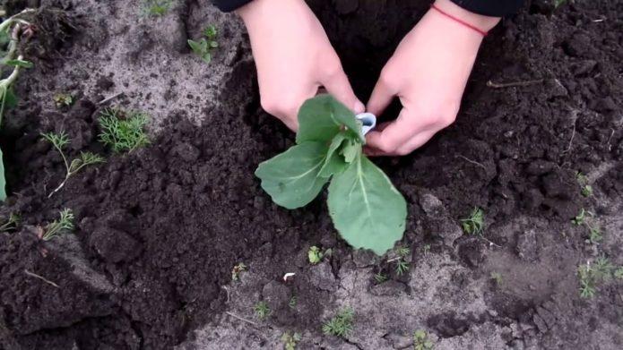 техника посадки капусты в грунт
