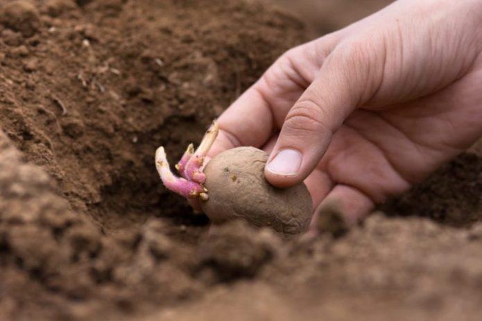 Посадка картофеля в благоприятные дни по лунному календарю 2020 года