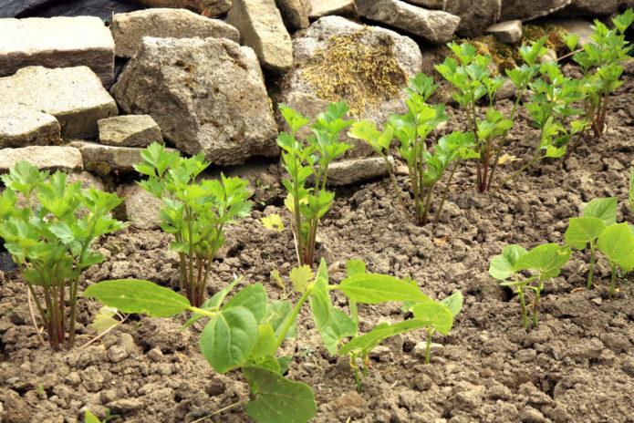 Благоприятные дни для посева сельдерея семенами в 2021 году