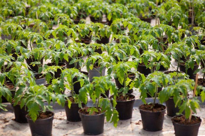 Благоприятные дни для посадки рассады помидоров в 2020 году для Подмосковья