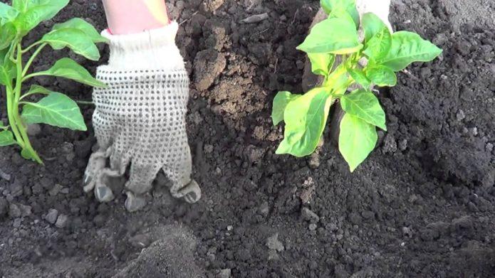 высаживание баклажанов в грунт