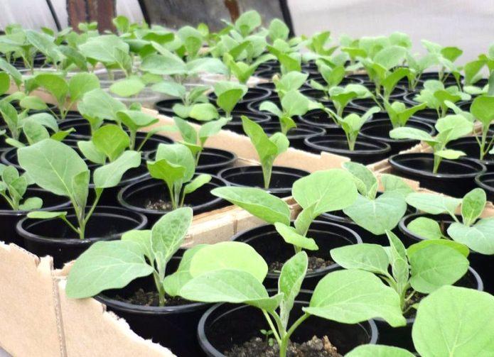 Благоприятные дни для посева рассады баклажан в марте 2021 года по лунному календарю