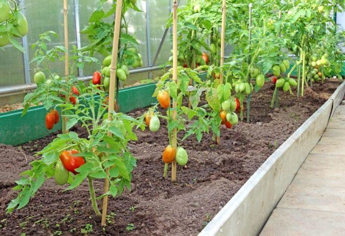 ошибки при выращивании томатов в теплице
