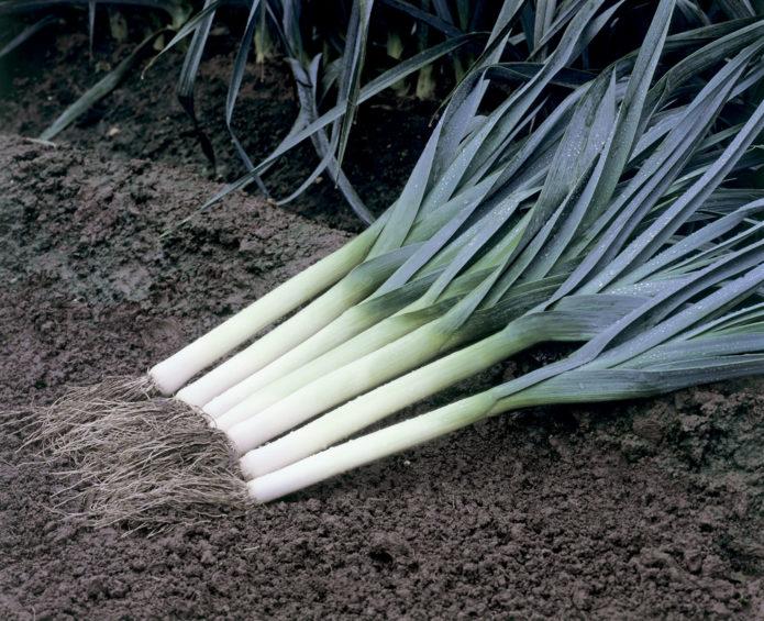 урожай лука порея
