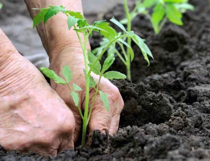 высаживание томатов в грунт
