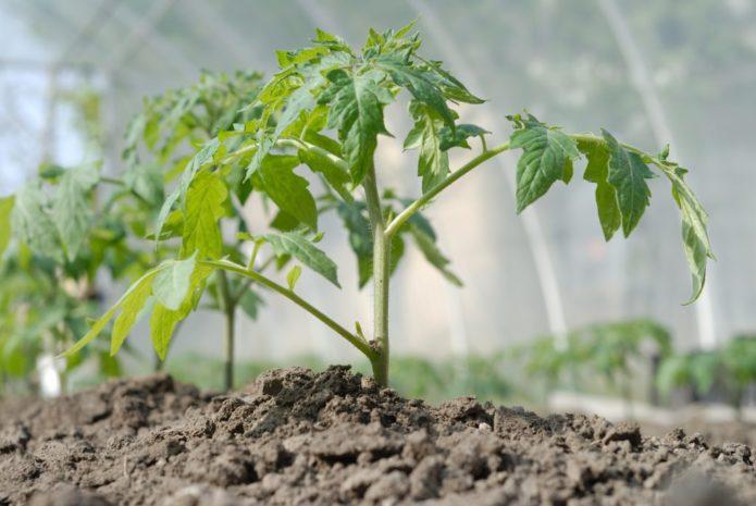 Благоприятные дни для посадки рассады помидоров в 2021 году в теплицу из поликарбоната