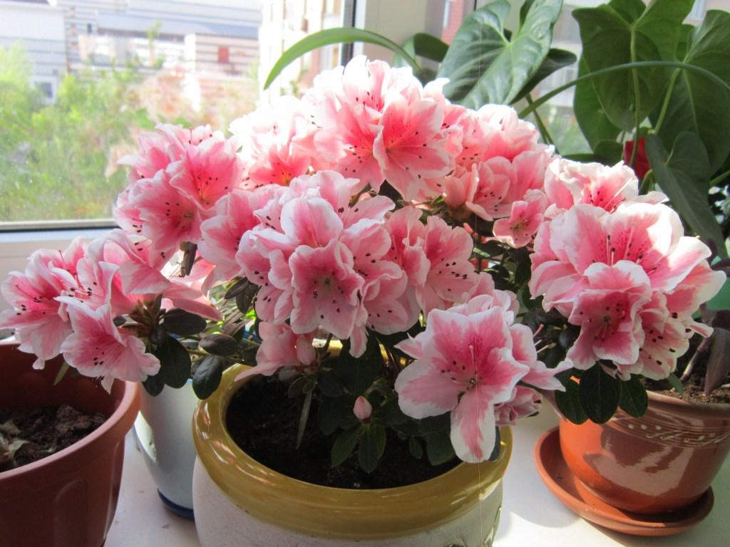 домашний цветок азалия