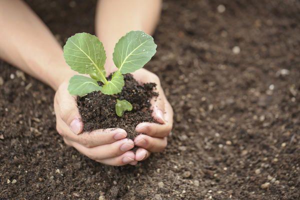 Благоприятные дни для посева капусты на рассаду в 2021 году по луне