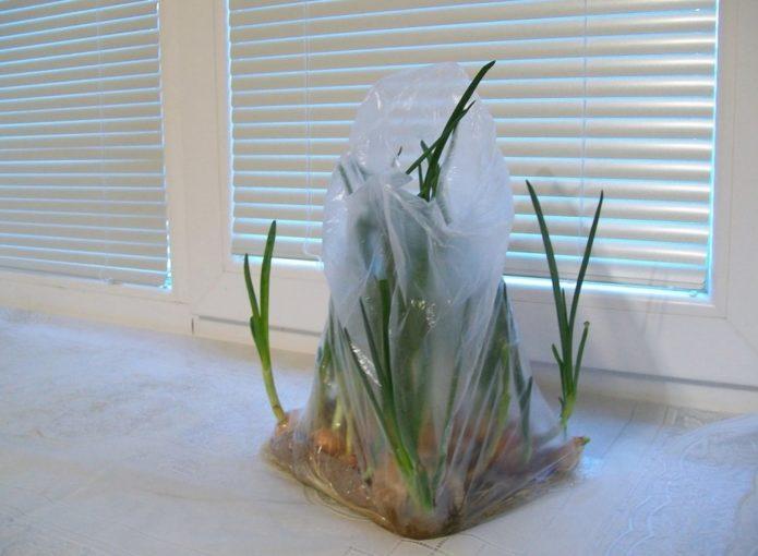 Как вырастить лук на перо в пакете