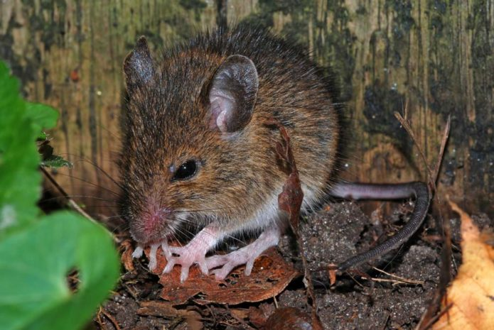 Используем запахи для отпугивания мышей на даче
