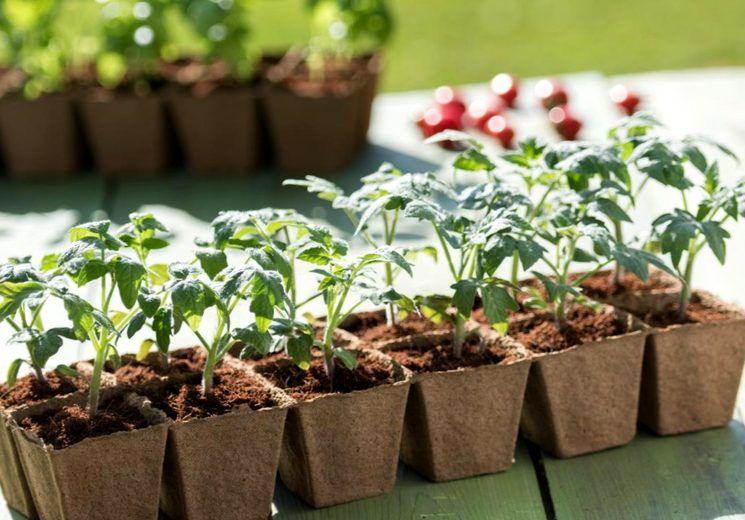 уход за рассадой помидор с первого дня