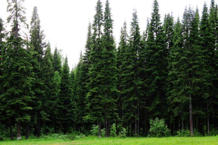 Деревья, которые не стоит высаживать рядом с жилым домом