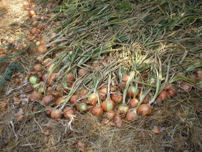 Благоприятные дни в 2020 году для уборки лука на хранение с учетом региона выращивания
