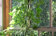 Как вырастить огурцы на балконе и подоконнике в квартире зимой из семян