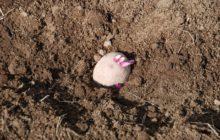 Благоприятные дни для посадки картофеля в мае 2020 года: лунные фазы месяца, их влияние на посадки и полезные советы