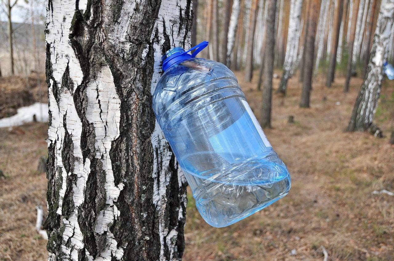 Как и когда собирать березовый сок в 2020 году в Подмосковье и других регионах страны, правила сбора и хранения