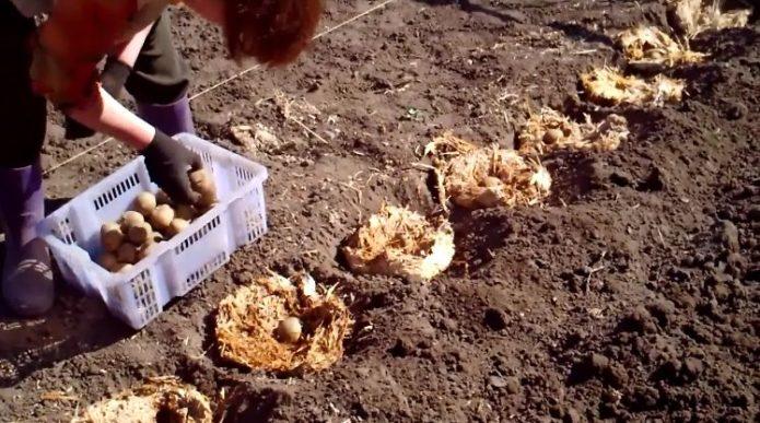Когда сажать картофель в мае 2021 года с учетом лунного календаря