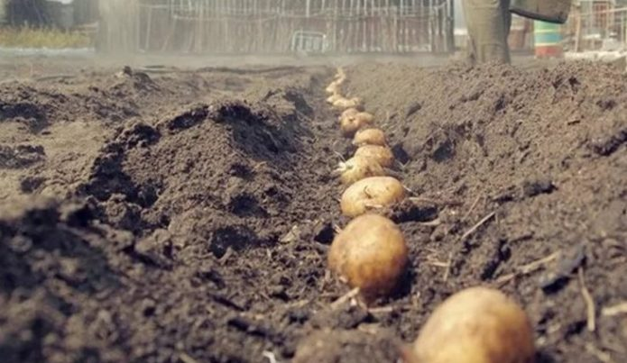 высаженный ряд картофеля