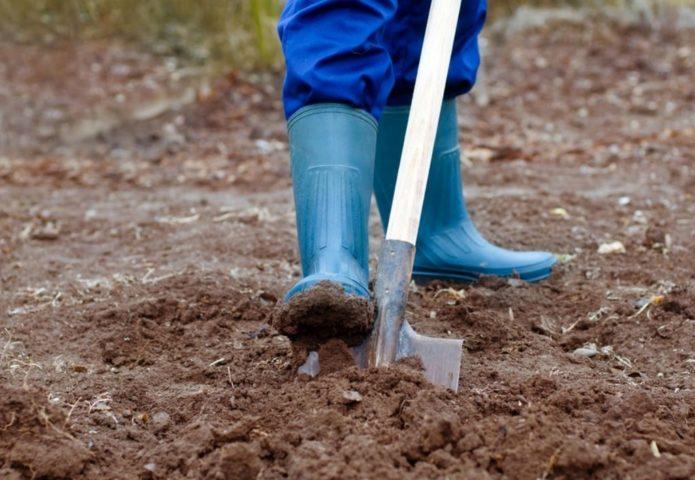 Как подготовить грядку для посадки чеснока в зиму