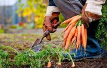 Когда убирать морковь и свеклу в Подмосковье в 2020 году: определение благоприятных дней, правила уборки и хранения
