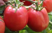 Лучшие сорта томатов на 2020 год: урожайные и устойчивые к болезням наименования с описанием и фото
