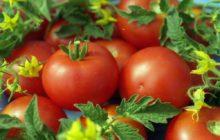 Новые сорта томатов сибирской селекции на 2020 год: главные преимущества, лучшие наименования с описанием и фото