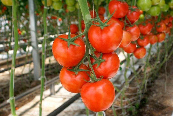 Какие сорта томатов будут лучшими для посадки в 2021 году