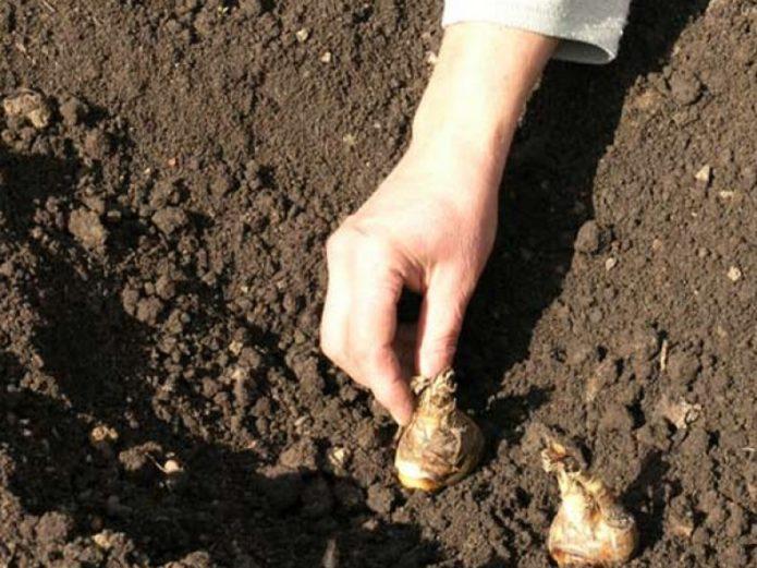 Благоприятные дни для посадки луковиц гладиолусов весной 2021 года