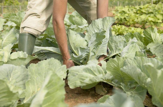 Благоприятные дни и условия для срезки капусты на хранение в 2021 году