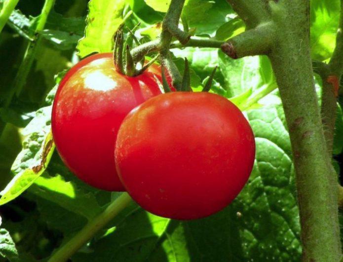 Сибирская селекция томатов: лучшие сорта на 2021 год с описанием и отзывами