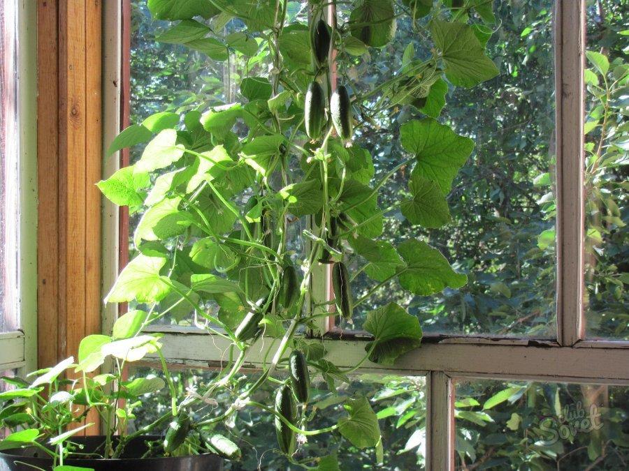 вырастить огурцы дома на балконе