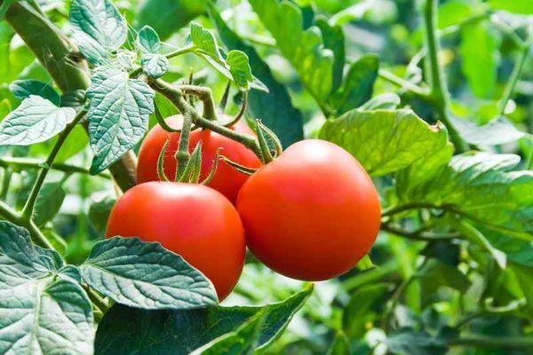 сорта томатов для Украины