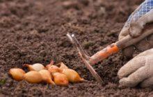 Когда сажать лук под зиму в Подмосковье