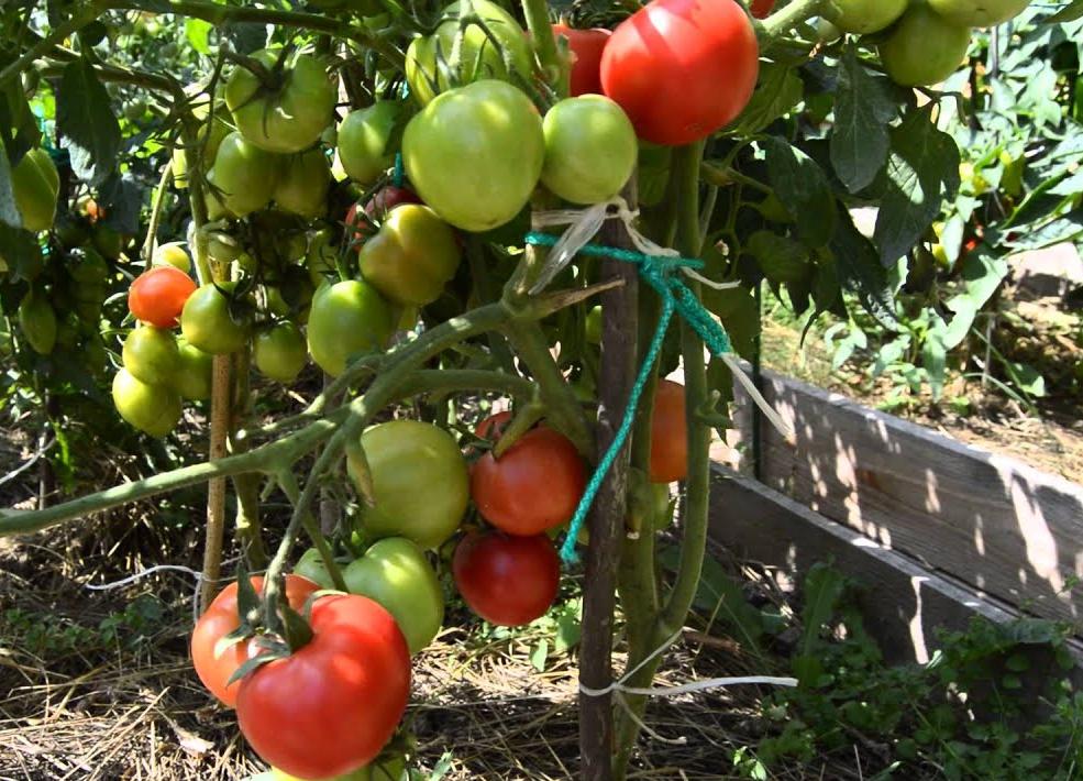 """помидоры """"Старосельские"""""""