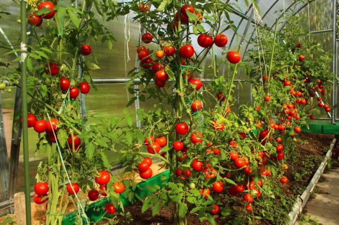 Самые благоприятные дни для посадки томатов в Средней полосе России на 2020 год