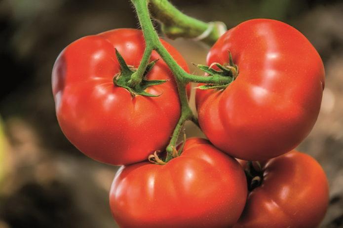 Выбираем жароустойчивые сорта помидоров для посадки на Юге России в 2021 году