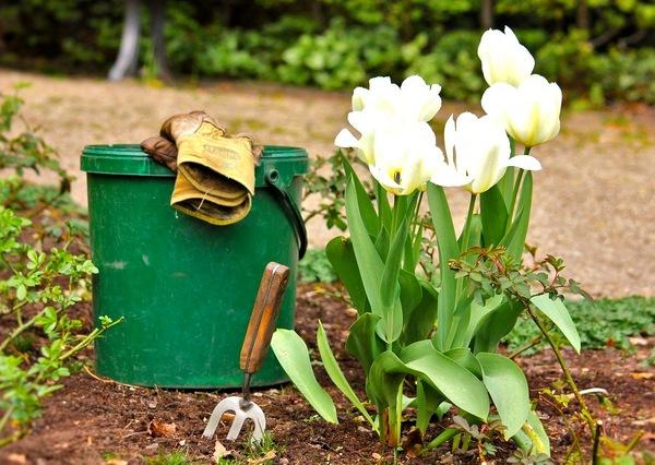 Благоприятные дни для посадки тюльпанов весной в 2020 году для раннего цветения