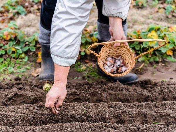 Благоприятные дни для посадки чеснока в зиму в Подмосковье в 2020 году