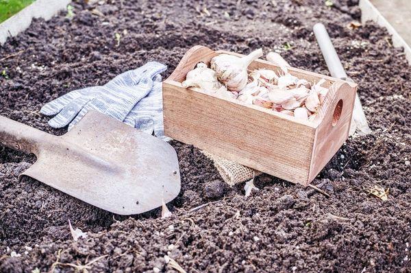 Самые благоприятные дни для посадки чеснока в зиму в Сибири по фазам луны на 2020 год
